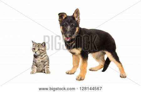German Shepherd puppy and kitten Scottish Straight isolated on white background