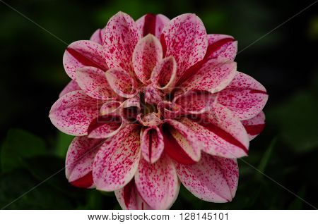 Dahlia flower in pink, summer garden - expresses dignity and elegance