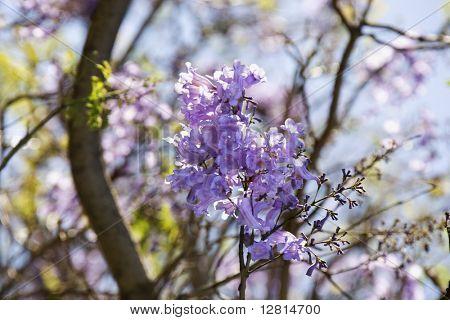 Close-up of Jacaranda tree in blooming with purple flowers in Haleakala National Park in Maui, Hawaii.
