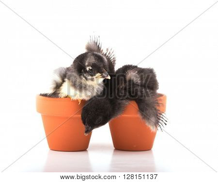 Two tiny bantam chicks in small clay pots, one almost falling off, on white