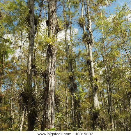 Airplants growing on cypress trees in Everglades National Park, Florida, USA.