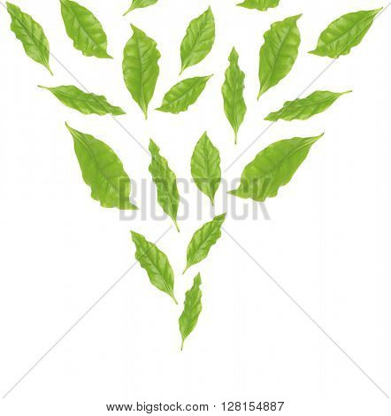 Collage of fresh green coffee leaves, isolated on white