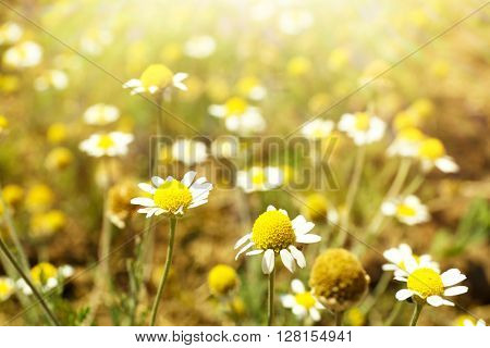 Beautiful daisy flowers on meadow with sunlight