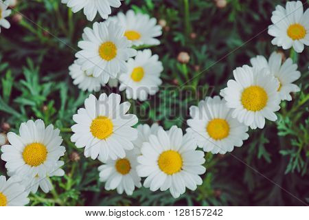 White and yellow flower. Detail of daisies in the grass. Macro of beautiful white daisies flowers. D
