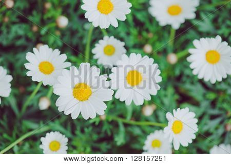 White and yellow flower. Detail of daisies in the grass. Macro of beautiful white daisies flowers. Daisy flower.