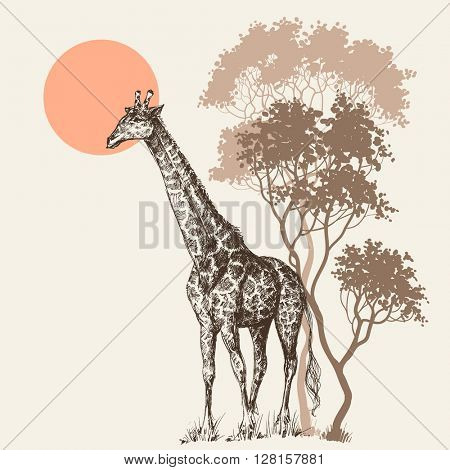 Safari sunset background, nature scenery, trees and giraffe