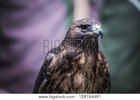 predator, exhibition of birds of prey in a medieval fair, detail of beautiful imperial eagle in Spain