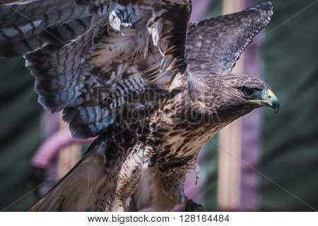 exhibition of birds of prey in a medieval fair, detail of beautiful imperial eagle in Spain