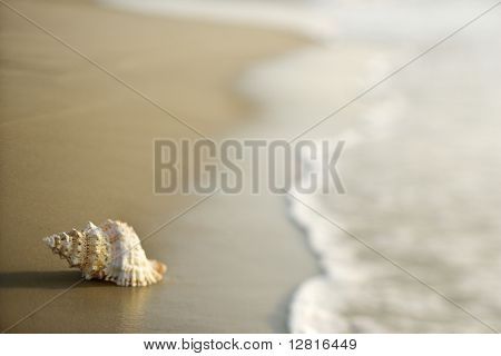 Conch shell on beach  with waves.