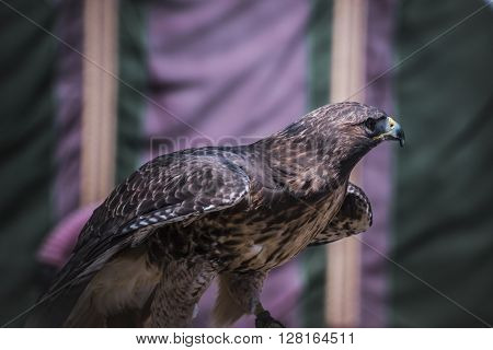 wildlife, exhibition of birds of prey in a medieval fair, detail of beautiful imperial eagle in Spain