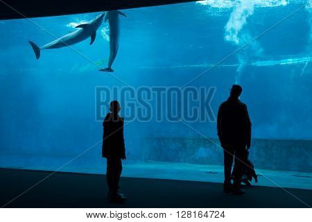 GENOA, ITALY - MARCH 22, 2016: Visitors observe as common bottlenose dolphins (Tursiops truncatus) swim in the Genoa Aquarium in Genoa, Liguria, Italy.