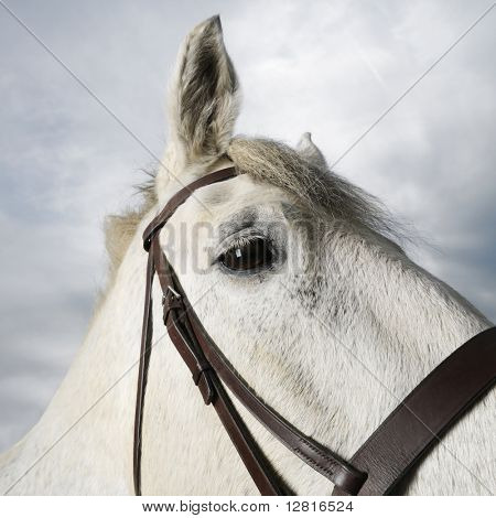 Close-up portrait of white flea-bitten horse wearing bridle.