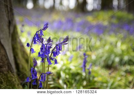Closeup of bluebells in the woods. Micheldever, Hampshire, UK