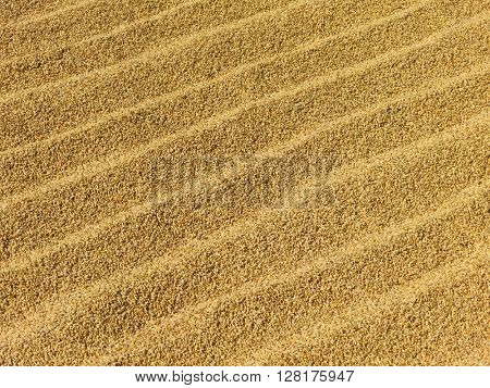 Rice grains drying in the sun in Nepal