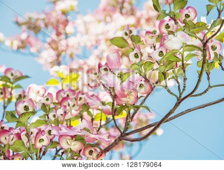 Cornus florida - Flowering dogwood - is a species of flowering plant in the family Cornaceae native to eastern North America and northern Mexico. Flowering tree.