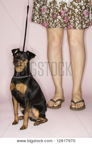 Caucasian woman legs with Miniature Pinscher dog on leash against pink background.