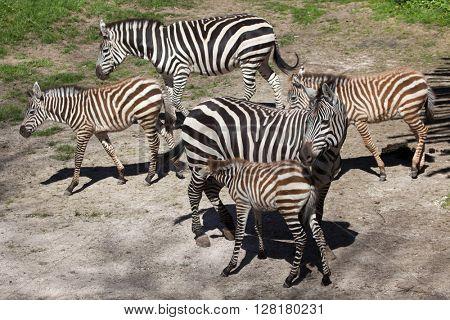 Grant's zebra (Equus quagga boehmi). Wild life animal.