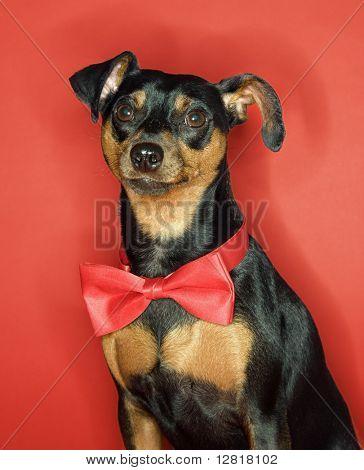 Miniature Pinscher dog wearing red bowtie sitting against red background.