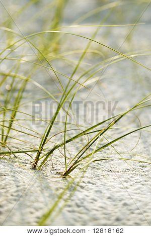 Beach grass in sand on Bald Head Island, North Carolina.