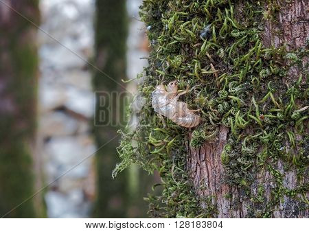 exuvia of cicada, Montenegro