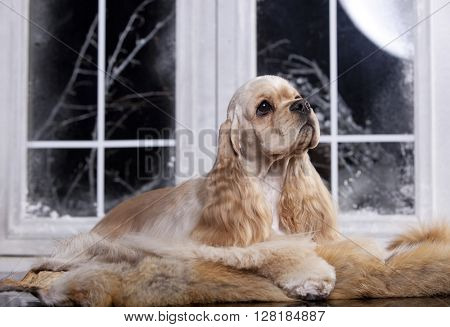 dog American Cocker Spaniel