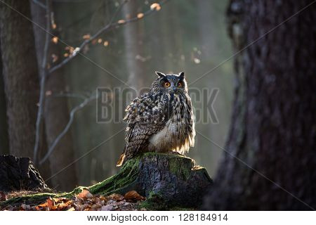 Eurasian Eagle Owl, close-up.