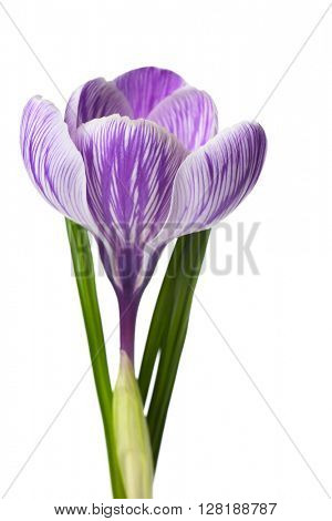 Beautiful crocus flower isolated on white