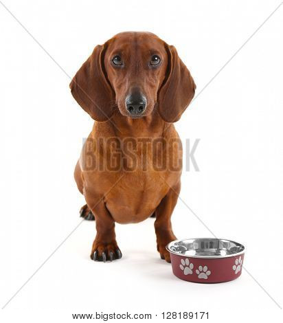 Dachshund with metallic bowl isolated on white.