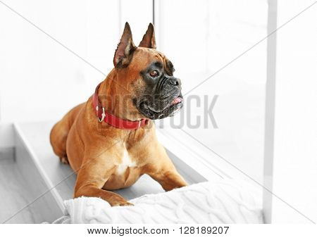 Boxer dog with pillow lying on a windowsill at home