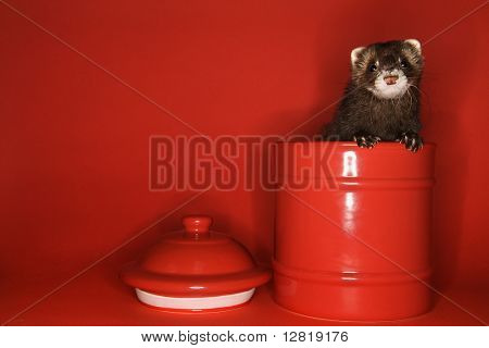 Brown ferret peeking out of red jar against red background.