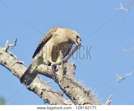 Red  Shouldered Hawk Feeding on Snake