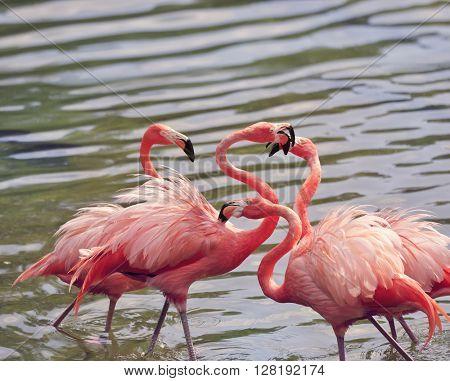 American Flamingos (Phoenicopterus ruber) fighting
