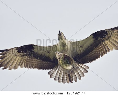 Osprey Eagle in Flight with a Fish
