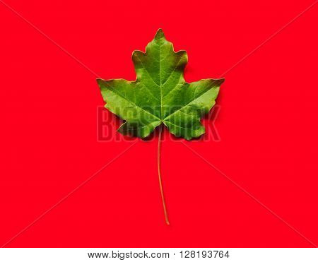fresh green maple leaf on red background