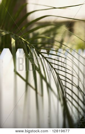 Palm frond leaf hanging over white picket fence on Bald Head Island, North Carolina.