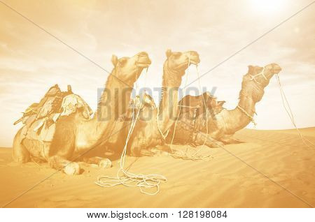 Three Camels Eating in the Desert Concept