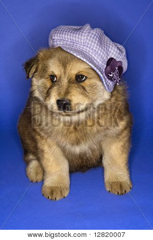Puppy wearing purple hat on blue background.