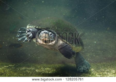 Malaysian giant turtle (Orlitia borneensis), also known as the Bornean river turtle. Wild life animal.