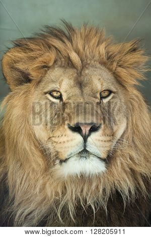 Lion (Panthera leo). Wild life animal.