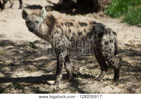Spotted hyena (Crocuta crocuta), also known as the laughing hyena. Wild life animal.