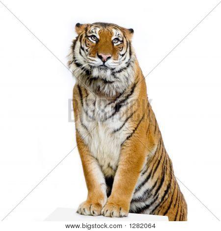Tigre de posando