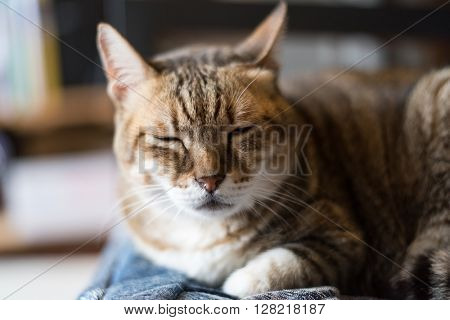 lazy domestic tabby cat sleep on the chair