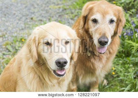 Happy Golden Retriever