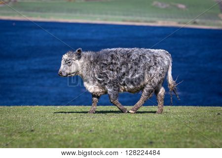 Hairy cow in the meadow with lake in background