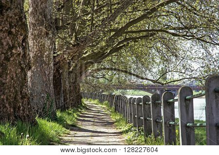 Alley of sycamore tree and retro railing. Footpath scene. Park scene. Romantic place. Massive trees.