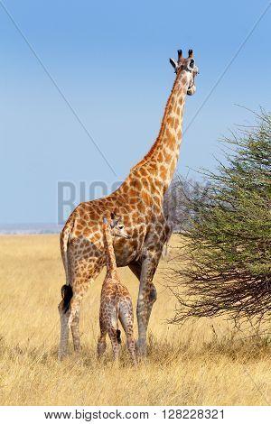 Adult Female Giraffe With Calf