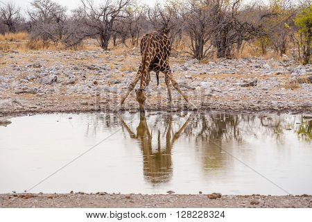 Giraffa Camelopardalis Drinking From Waterhole