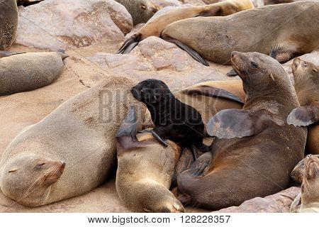 Small Sea Lion Baby In Cape Cross