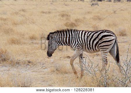 Zebra In African Savanna