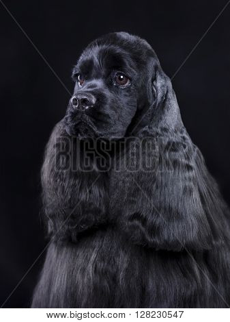 American Cocker Spaniel dog, close-up portrait